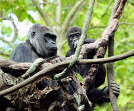 Gorilla mother and child. Gorilla mama and child sharing a moment of love and affection Stock Photos