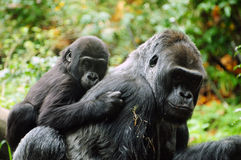 Gorilla mother and child. Gorilla child holds on to his mother for a piggyback ride Stock Photos