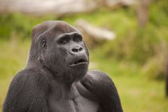 Gorilla Mouth Royalty Free Stock Images