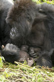 Gorilla mum with baby Royalty Free Stock Photography