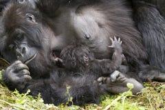 Gorilla mum with baby royalty free stock image