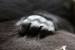 Gorilla mum with child Royalty Free Stock Images