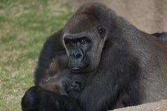 Gorilla-Mutter und Kind Lizenzfreies Stockfoto