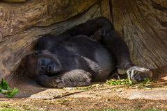 Gorilla Nap Royalty Free Stock Images