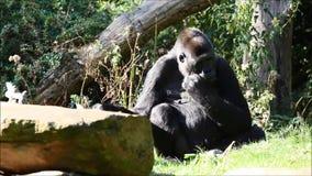 Gorilla in natura stock footage
