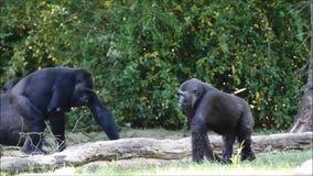 Gorilla in natura video d archivio