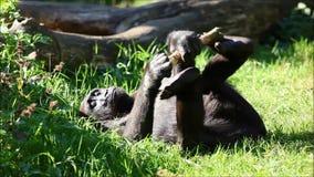 Gorilla in Nature stock video