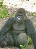 Gorilla nel pensiero fotografie stock libere da diritti