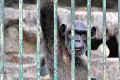 Gorilla nella gabbia Immagine Stock