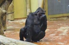 Gorilla nello zoo Fotografia Stock
