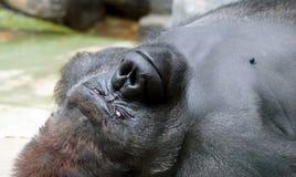 Gorilla nera d'argento Fotografia Stock