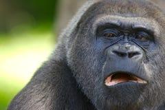 Gorilla occidentale della pianura fotografie stock libere da diritti