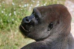 Gorilla occidentale della pianura che osserva sopra la spalla di sinistra Fotografia Stock