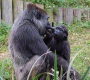 Gorilla och barn för västra lågland fotografering för bildbyråer