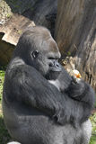 Gorilla with onion Royalty Free Stock Photos