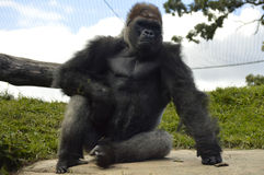 Gorilla. A gorilla in the outdoors Royalty Free Stock Photos