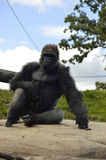 Gorilla. A gorilla in the outdoors Stock Photo