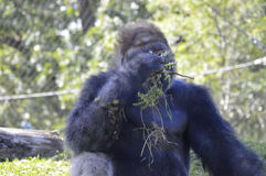 Gorilla. A gorilla in the outdoors Stock Photography