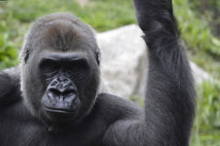 Gorilla. A gorilla in the outdoors Royalty Free Stock Photography