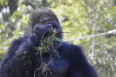 Gorilla. A gorilla in the outdoors Stock Photos