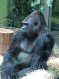 Gorilla på zoo Royaltyfria Bilder