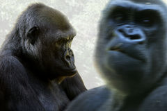 Gorilla paar Stock Photography