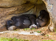 Gorilla Pair Stockbilder