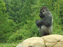 Gorilla Perch Royalty-vrije Stock Fotografie