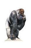 Gorilla perplessa Immagine Stock