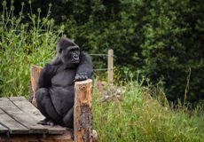 Gorilla. Photo of a gorilla posing nicely in a zoo Stock Photography
