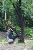 Gorilla Playing with Tree. Gorilla in grassy area playing with tree Stock Photo