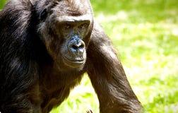 Gorilla, Porträt der wild lebenden Tiere Stockfoto