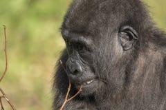 Gorilla Portrait Stockbilder
