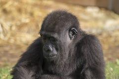 Gorilla Portrait Lizenzfreie Stockfotos