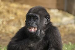Gorilla Portrait Stockfotografie