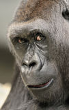 Gorilla portrait. Close up portrait of the face of a female gorills Royalty Free Stock Photo