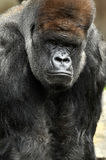 Gorilla portrait. Outdoor portrait of a mighty silver-back mountain Gorilla male staring Royalty Free Stock Photo