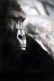 Gorilla portrait Royalty Free Stock Photography