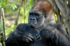 Gorilla Portrait. Head and shoulders  of a silverback gorilla with hands at his chest Royalty Free Stock Image