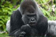 Gorilla Portrait. Photographed in the Lincoln Park Zoo, Chicago Royalty Free Stock Photo