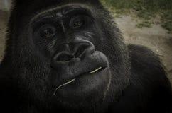 Gorilla Portrait Imágenes de archivo libres de regalías