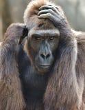 Gorilla Portrait Foto de Stock Royalty Free