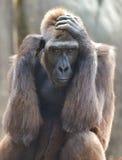 Gorilla Portrait Arkivfoton