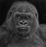 Gorilla portrait Stock Photography