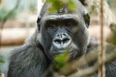 Gorilla Portrait Royalty-vrije Stock Fotografie