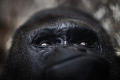 Gorilla Portrait image libre de droits