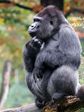 Gorilla portrait Royalty Free Stock Photo
