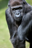 Gorilla portrait Stock Photos