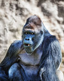 Gorilla Stock Photo