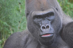 Gorilla portrait 2. A close up picture of a male western lowland gorilla Royalty Free Stock Images